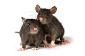 Rat Removal Services - Fast Free Estimates
