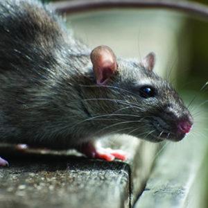 Rat-Removal-Boca-Raton