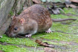 Florida palm rats