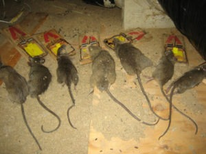 Rats In Attic Topnotch Solutions From Florida Animal
