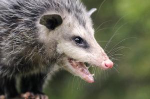 Opossum Extermination Boca Raton