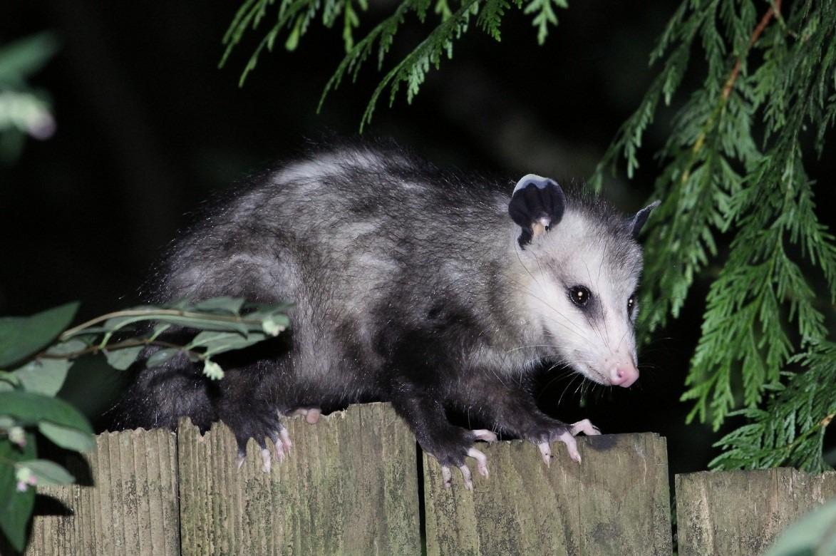Home-Invading Opossum