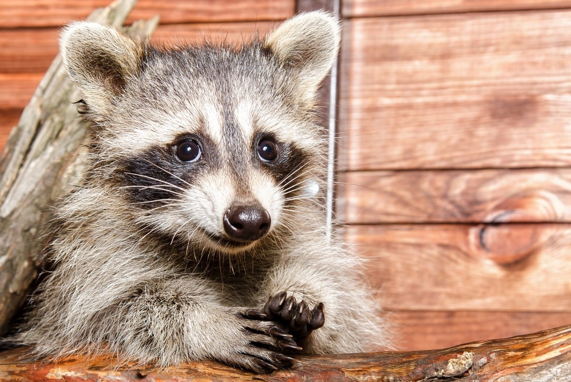 Four Reasons To Call A Professional For Effective Raccoon
