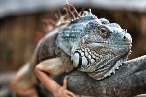iguana_removal_iguana_trapper