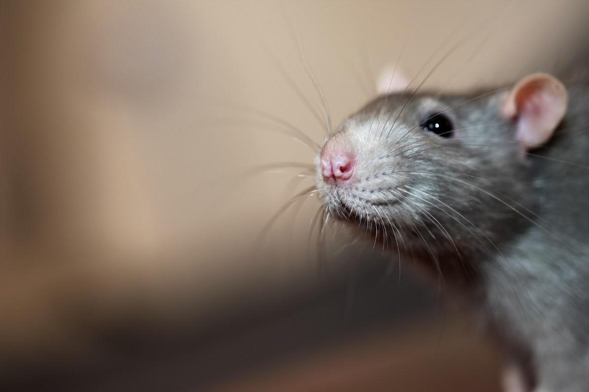 roof-rats