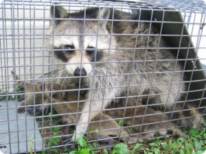 animal trapping experts florida